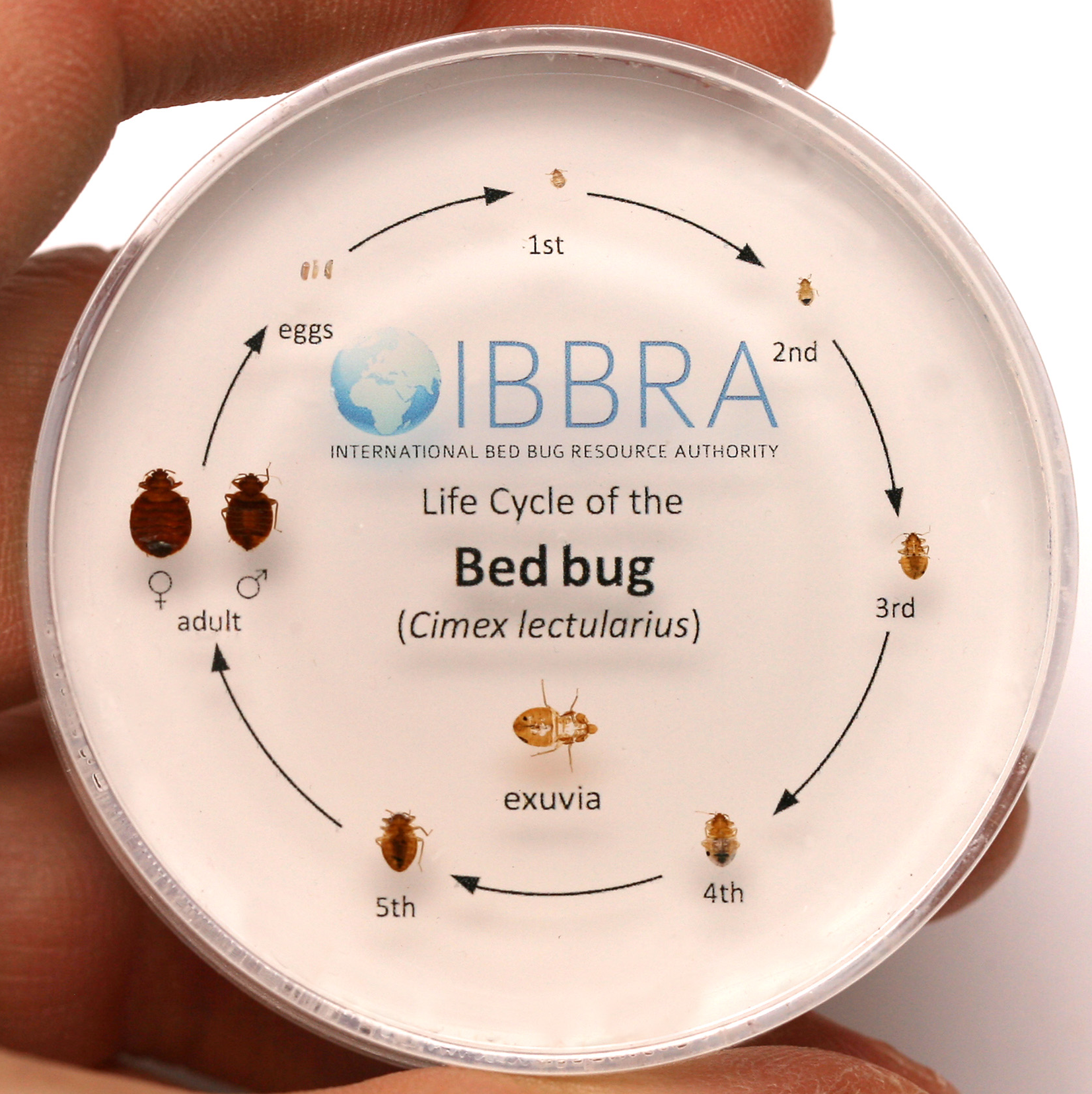 Life Cycle Of A Bed Bug. Bed Bugs Mistaken Identity   IBBRA