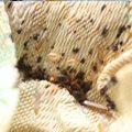 Bed Bug Infestation Close Up