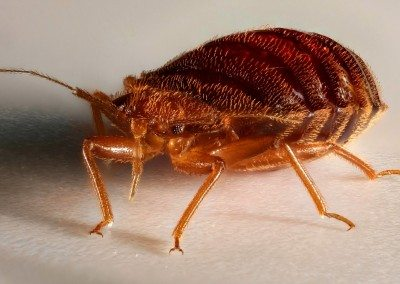Full Bed Bug After A Meal.