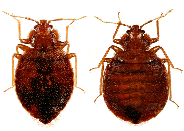 Do Dryer Sheets Really Get Rid of Bed Bugs?