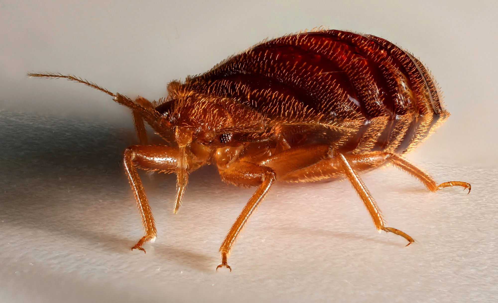 Bed Bugs Are The Size Of