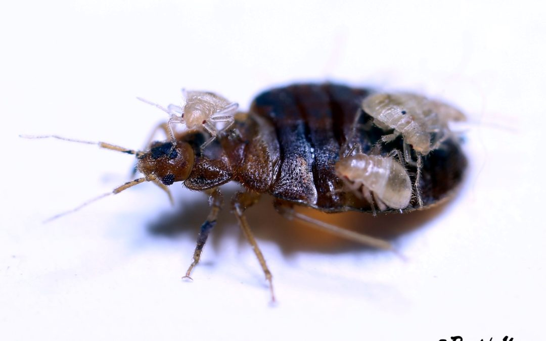 What You Should Expect with a Professional Bed Bug Treatment