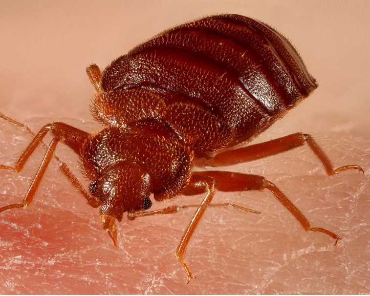 professional bed bug services