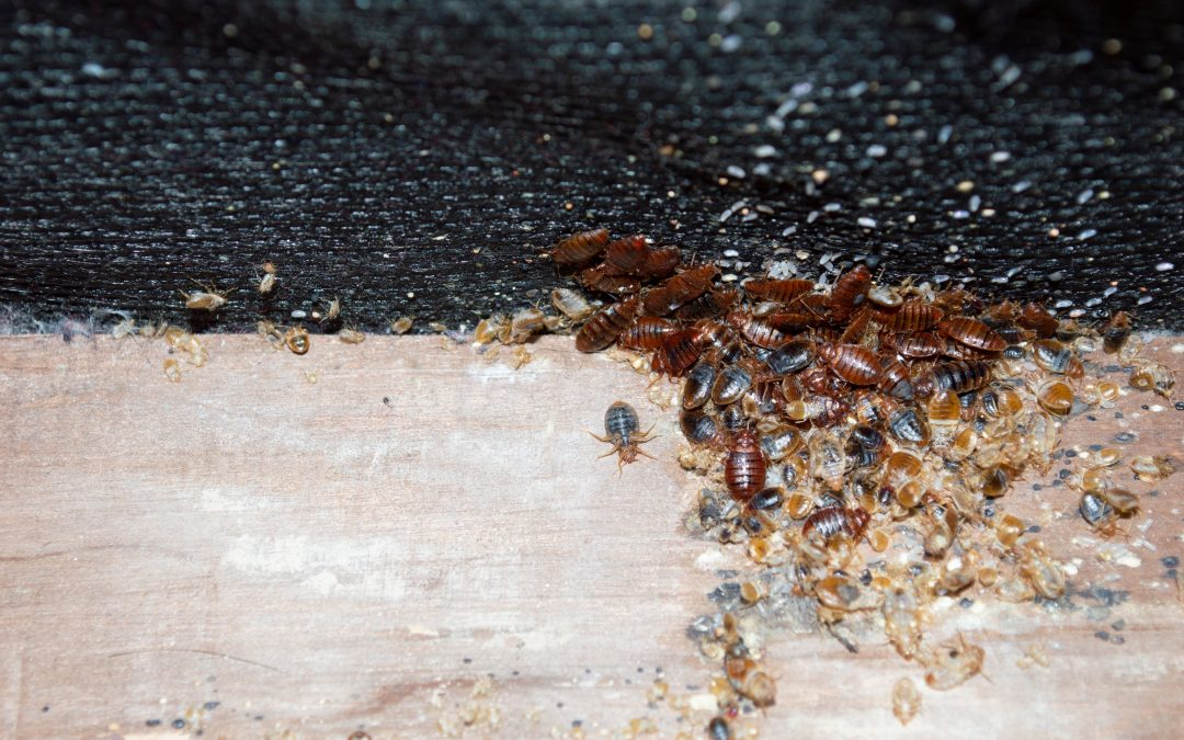 All About Bed Bug Eggs & How to Get Rid of Them
